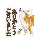さすが!柴犬(敬語編)(個別スタンプ:02)