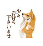 さすが!柴犬(敬語編)(個別スタンプ:17)