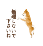 さすが!柴犬(敬語編)(個別スタンプ:33)
