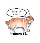 柴犬のここが好き5〜英語版〜(個別スタンプ:31)