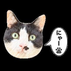 白黒ハチワレ猫のむぅたん